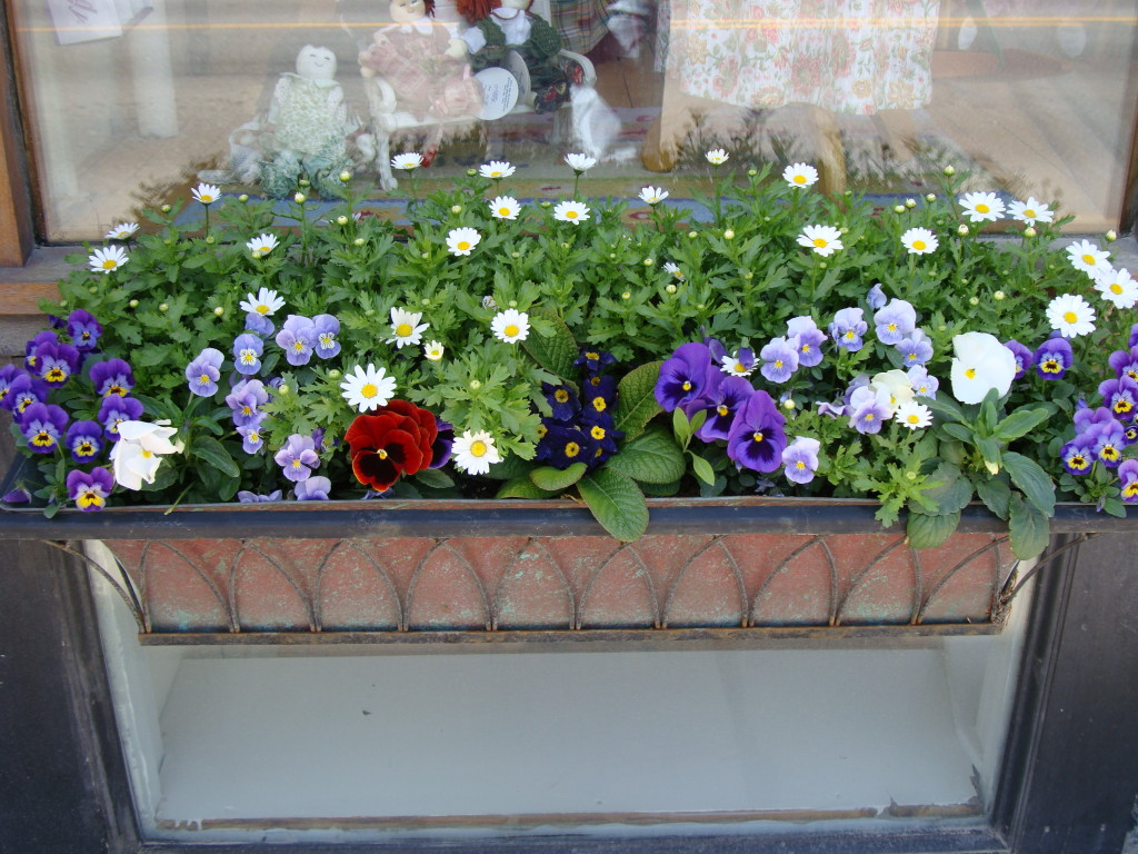 Pansies in Middlebury, VT