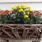 Fall - Mums in basket