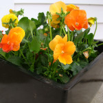 Orange Pansies in Black Container