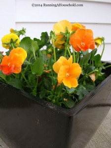 Orange Pansies in Black Container