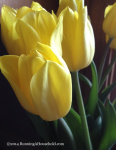 Yellow cut tulips