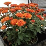 Fall - Orange mums