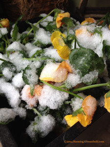 Orange pansies covered in snow