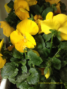 Yellow pansies after snow