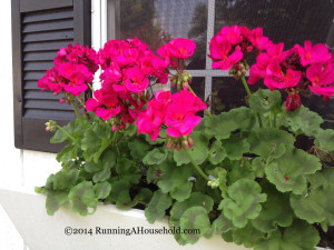 Pink geraniums in window boxes