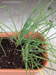 Chives in Container