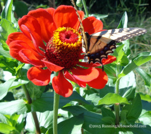 Giant Red Zinnia with butterfly