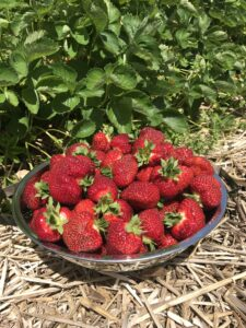 strawberries in stainless colander